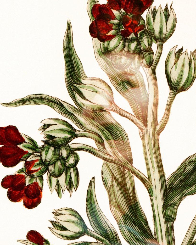 Flora Danica III,  Tab. 7