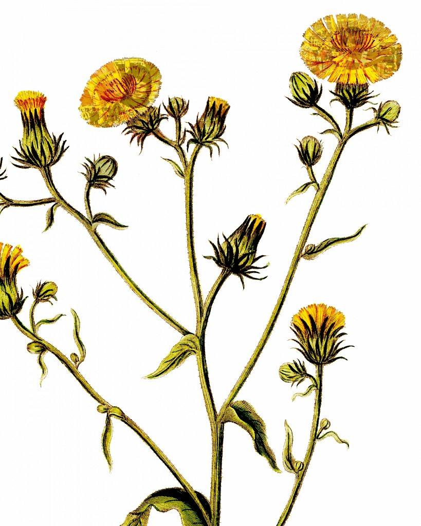 Flora Danica III,  Tab. 15