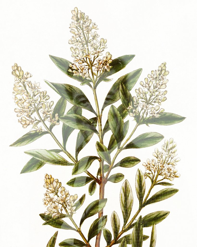 Flora Danica III,  Tab. 17