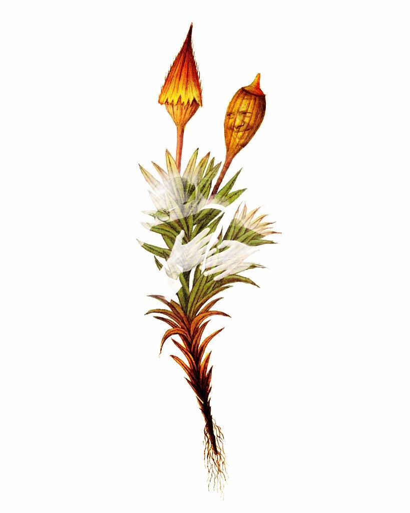 Flora Danica III,  Tab. 22